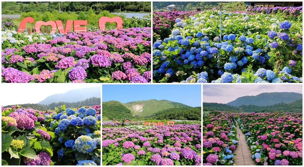 竹子湖繡球花季|頂湖財福繡球花園,超大面積繡球花田美麗綻放中!