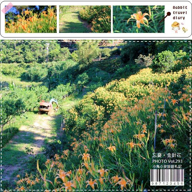 『金針花季』最新賞花點,石門江豐農果園,梯田金針花海。 @小兔小安*旅遊札記
