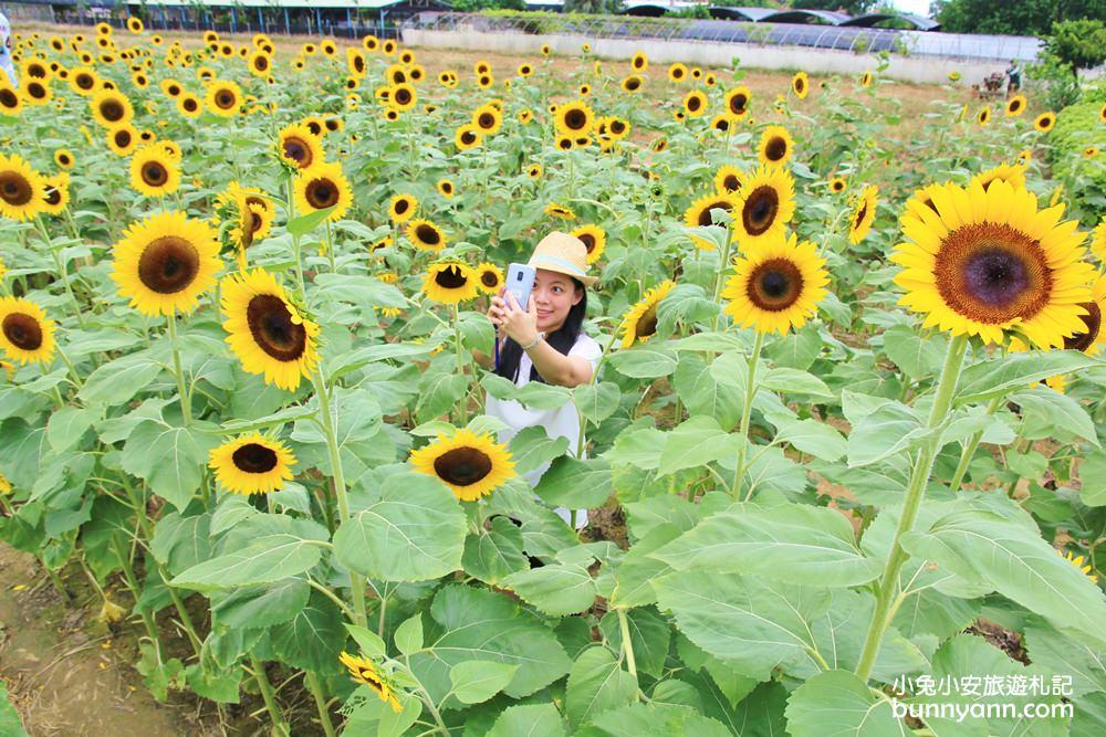 桃園景點》向陽農場向日葵迷宮,免費玩!比人高向日葵打造太陽花迷宮超好拍~ @小兔小安*旅遊札記