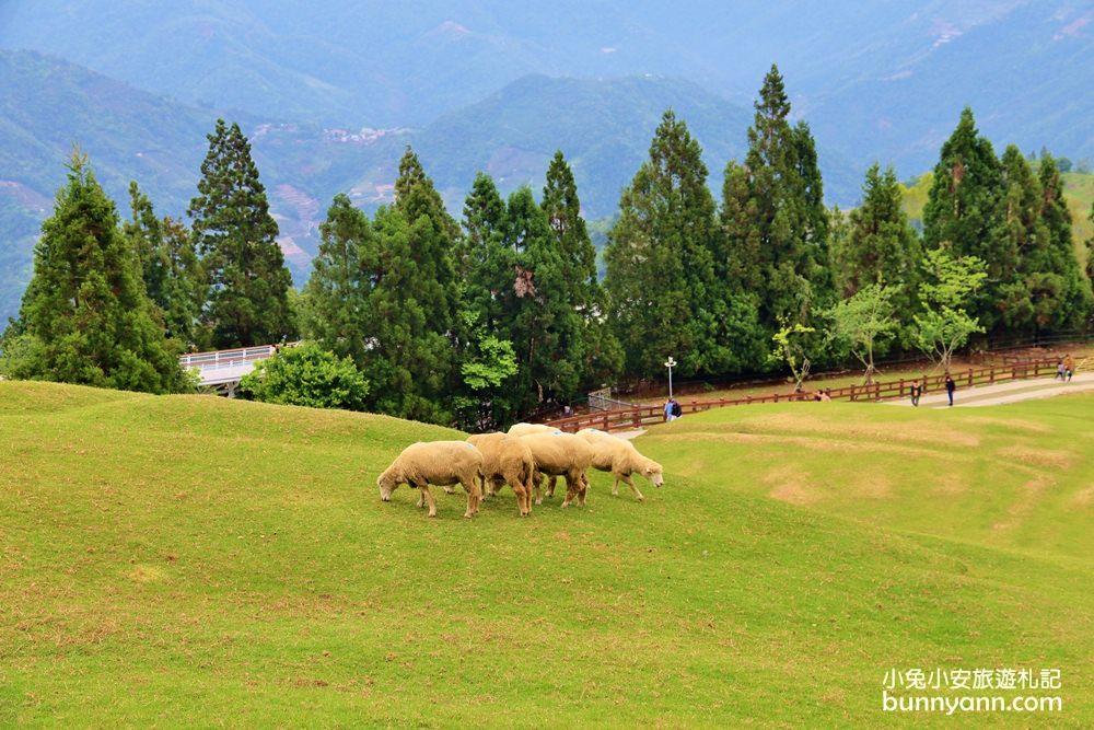 南投景點》清境農場最萌小棉羊群,羊群帶頭草原散步,來找羊咩咩一起奔跑