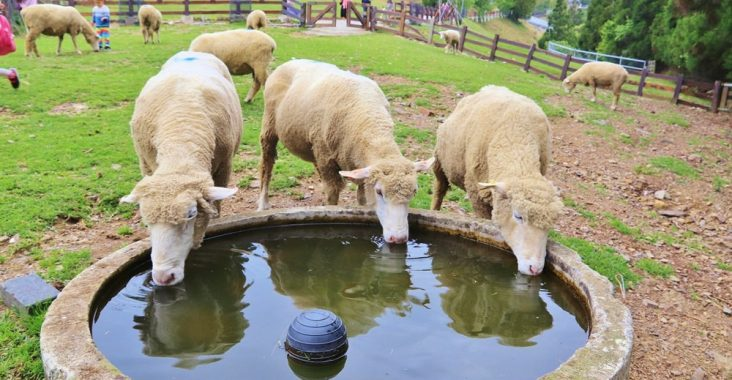 南投清境農場,最萌小棉羊群草原散步,來找羊咩咩奔跑 @小兔小安*旅遊札記