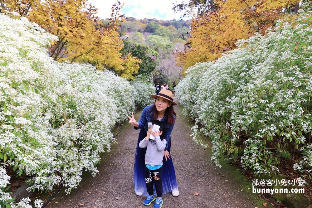 台中》沐心泉休閒農場,白雪木純白花海,加碼黃金楓葉同框,櫻花、金針花四季都很美