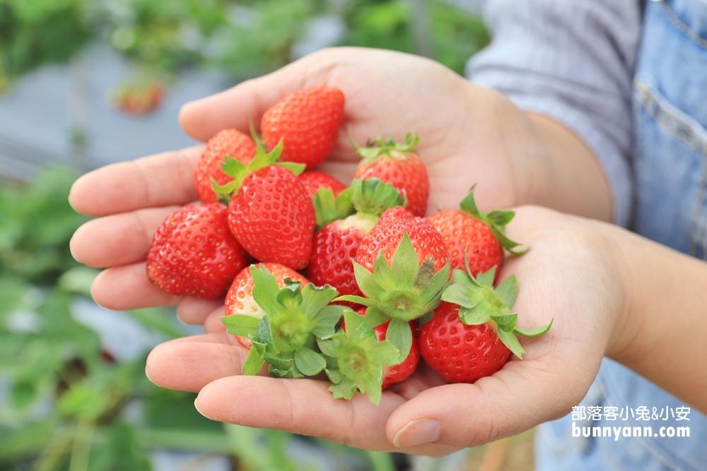 苗栗景點》大湖草莓季,馬拉邦山金鑽草莓園,蘋果草莓好甜!