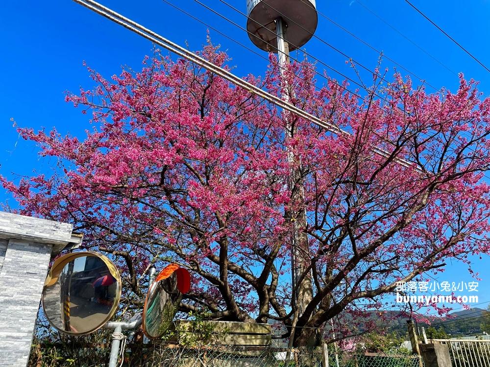 台北賞櫻花》最美巷弄!平菁街42巷櫻花開了,煙火般的燦爛粉紅之美。