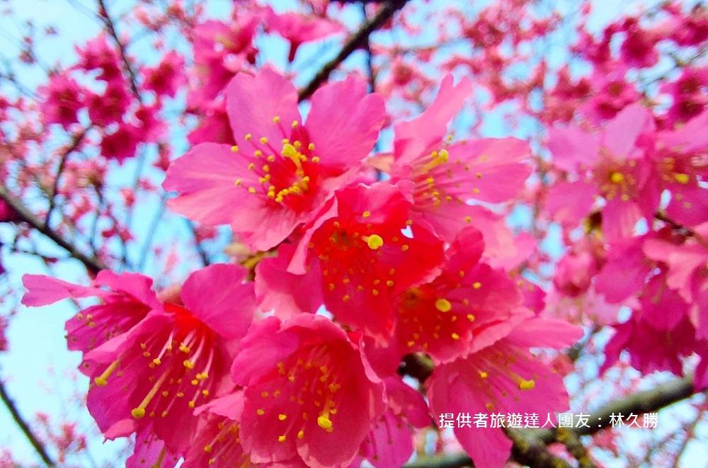 苗栗景點》賞櫻季節來了!獅潭協雲宮,山林間的紅粉櫻花谷~