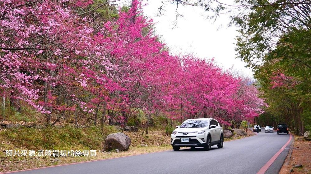 台中》武陵農場櫻花季攻略,粉嫩櫻花季綻放中,夢幻的粉紅佳人櫻花林