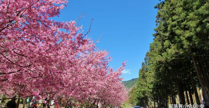 台中》武陵農場櫻花季攻略,粉嫩櫻花季綻放中,夢幻的粉紅佳人櫻花林 @小兔小安*旅遊札記