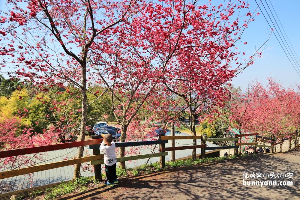 嘉義》隱藏版賞櫻秘境!鶯山民宿這裡的櫻花正美,搶拍櫻花不用人擠人