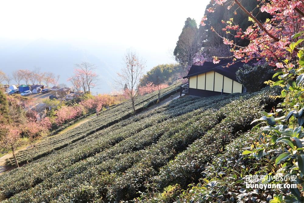 新竹》九成綻放中!山上人家櫻花山景正夢幻,茶園與櫻花步道拍到手軟