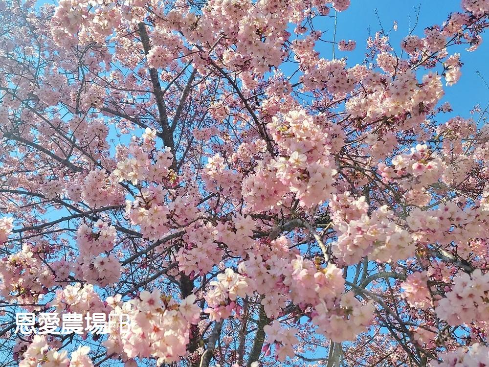 桃園景點》超美超夢幻!拉拉山恩愛農場櫻花粉爆,唯美富士櫻大盛開。