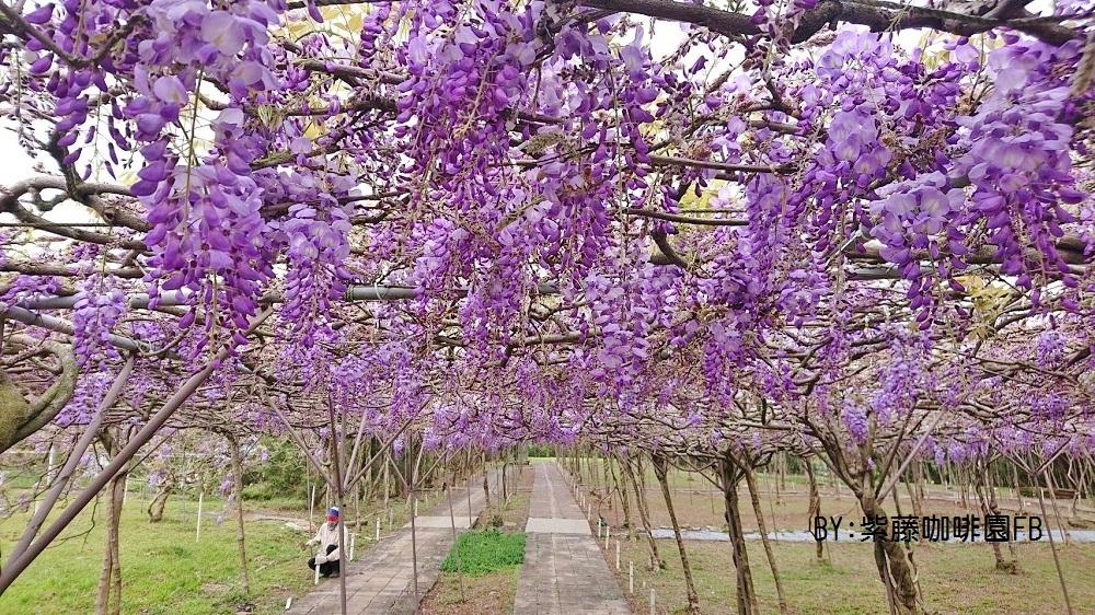 新北景點》 淡水紫藤咖啡園二店水源園區,超美紫藤天空,紫色控快來拍一波~