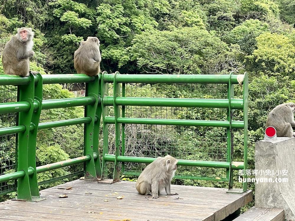 台東》猴子東遊記!泰源幽谷登仙橋,近距離觀察猴子軍團生活,我家也有隻小猴子