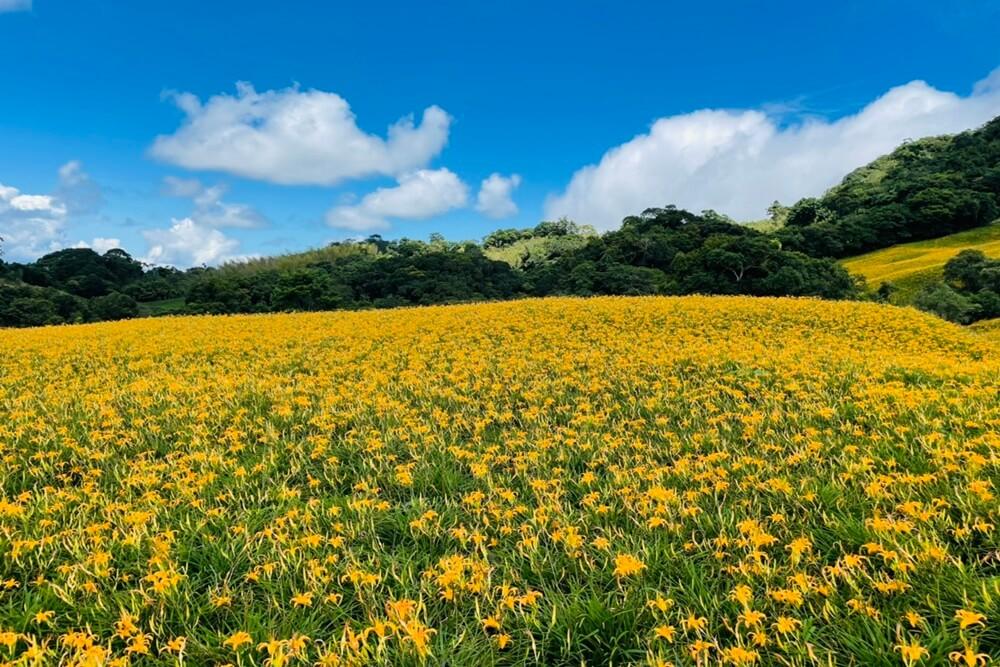 赤柯山小瑞士農場,最新花況分享,金針花季一定熱門的賞花景點